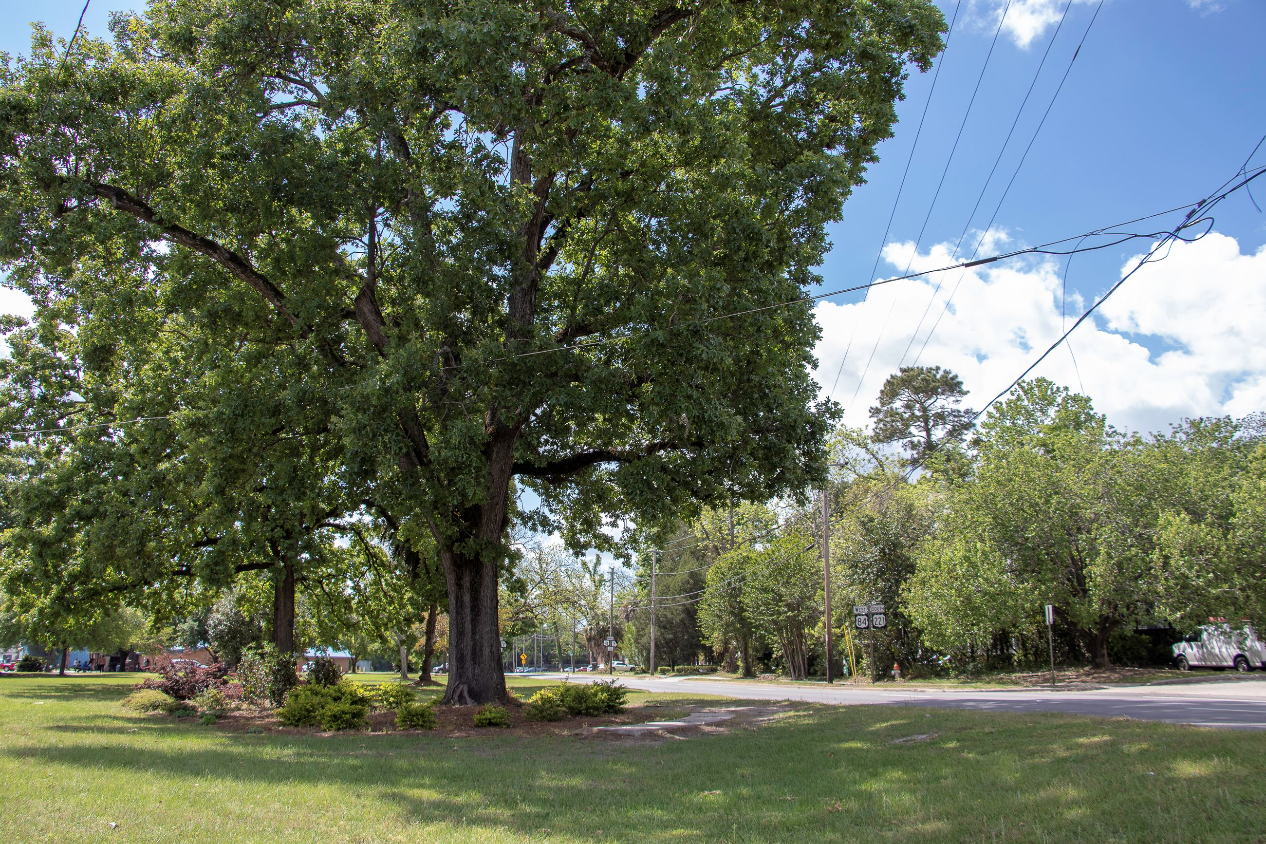 Image of a large tree in a green space near a road.